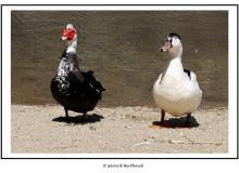Canard de Barbarie (Andros)