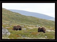 Boeuf musqué (parc national Dovrefjell)