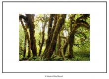 Hoh Rain Forest (Olympic National Park)