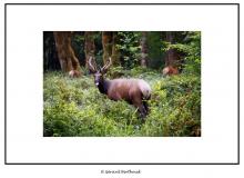 Wapiti dans l'Hoh Rain Forest (Olympic National Park)