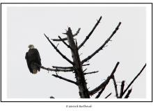 Pygargue dans l'Olympic National Park