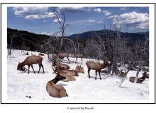 Wapitis dans le parc National de Yellowstone