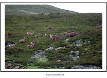 Troupeau de cerfs a Braemear (Ecosse)