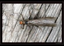 Plecoptere
