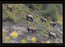 Famille de chamois