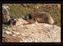RŽveil des marmottes