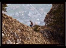 Chamois de montagne