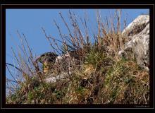 Le reveil des marmottes
