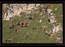 Chamois et mouflons