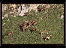Mouflon et chamois