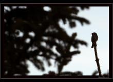 Oisea