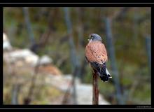 Faucon crecerelle