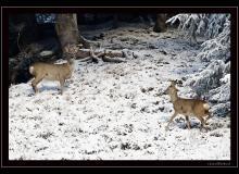 Chevreuil dans les premiers frimas de l'hiver.