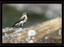 Traquet motteux (femelle)
