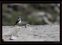 Traquet motteux (male)