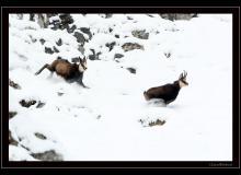 Chamois dans le Bas-Valais