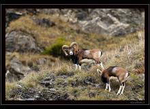 Mouflon dans la region de Champery