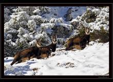 Colonie de chamois dans le Bas-Valais