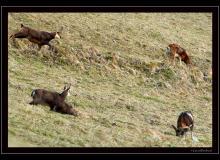 Chamois et mouflon