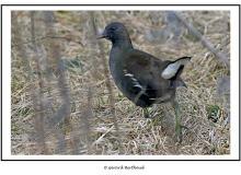 Gallinule-Poule d'eau immature
