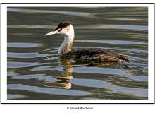 Grebe huppee plumage d'hiver