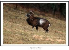Mouflon dans la région de Torgon