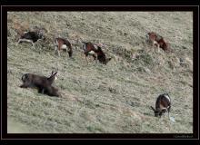 Mouflon et chamois dans la rŽgion de Torgon
