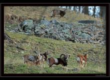 Mouflon dans la rŽgion de Torgon