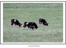 Mouflon dans la plaine du Rh™ne