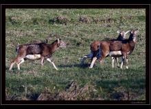 Colonie de mouflons de Torgon