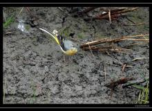 Bergeronette des ruisseaux