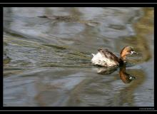 Grebe castagneux