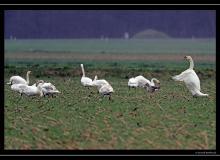 Une oie cendree parmi les cygnes