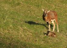 Femelle mouflon avec son petit