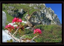 Bouquetin au col de Pavis