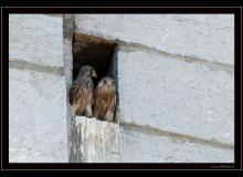 Faucon crecerelle dans le clocher d'Ollon
