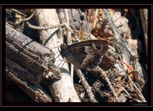 Brun des PŽlargoniums