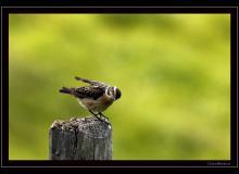 Traquet tarier (femelle)