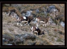 Mouflon dans la région de Champery