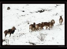 Colonie de mouflons du Val d'Illiez