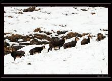 Chamois dans la region du col de Cou