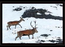 Biches et cerf