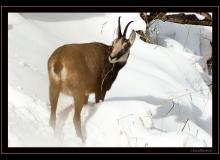 Chamois dans les premieres neiges.