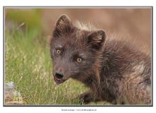renard-arctique2_7442-2