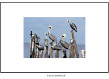 Pelicans dans le golfe du Mexique