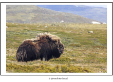 Le boeuf musque au parc national Dovrefjell