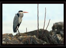 Heron cendre